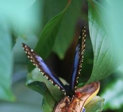 Blue butterfly_2