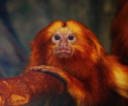 Orange monkey_1