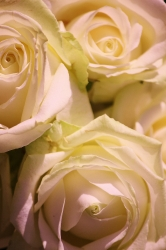 Soft Flowers_1